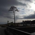 名勝「高田松原」で、 1本だけ残った松の木