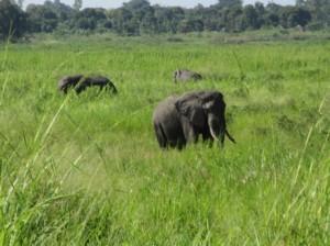 道路脇に現れたアフリカ象たち(ユンベ~カンパラ間)